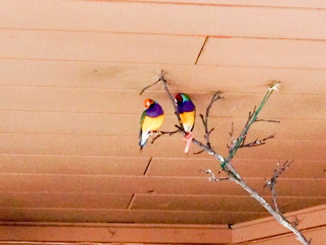Loved the colours on those Gouldian finches