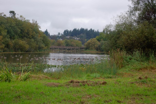 The Blenkinsop Trestle and all the geese