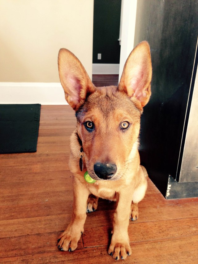 He already matches our decor as he's the same colour as our wooden floors! How could you not love those ears?!?